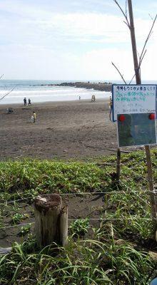 海ガメが産卵にやってくる海岸です